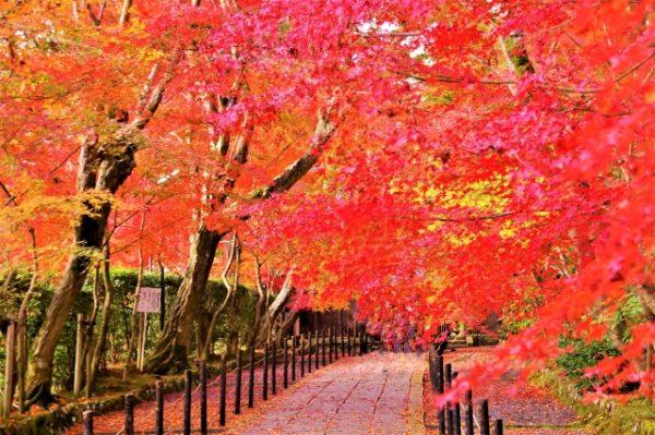 京都 紅葉 見頃
