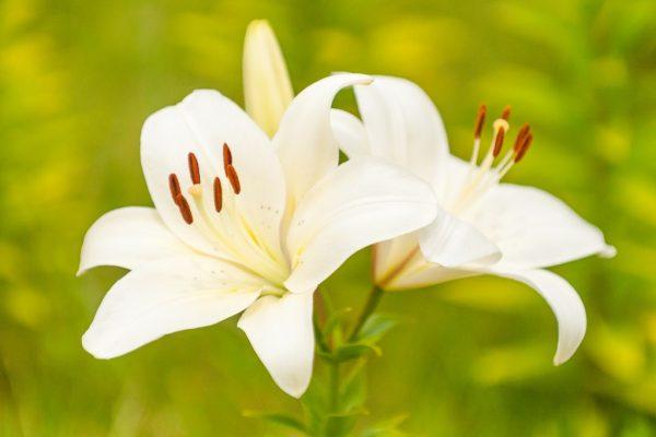 ユリは冠婚葬祭に幅広く使える万能な花!! | 贈り物・マナーの情報 ...